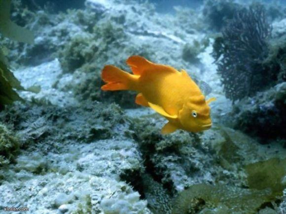 سمكة صفراء اللون تسبح في عمق البحر