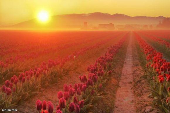 شروق الشمس على حقول الزهور  وادى سكاجيت شمال غرب واشنطن