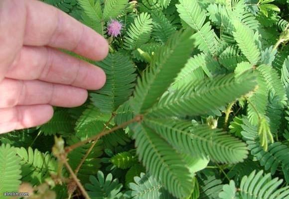 أغرب عشرة نباتات في العالم:  نبات ميموسا بوديكا Mimosa Pudica