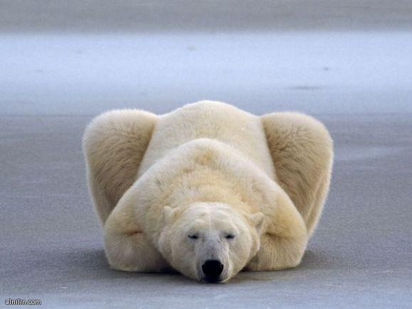 دب قطبي ينام على الجليد في كندا