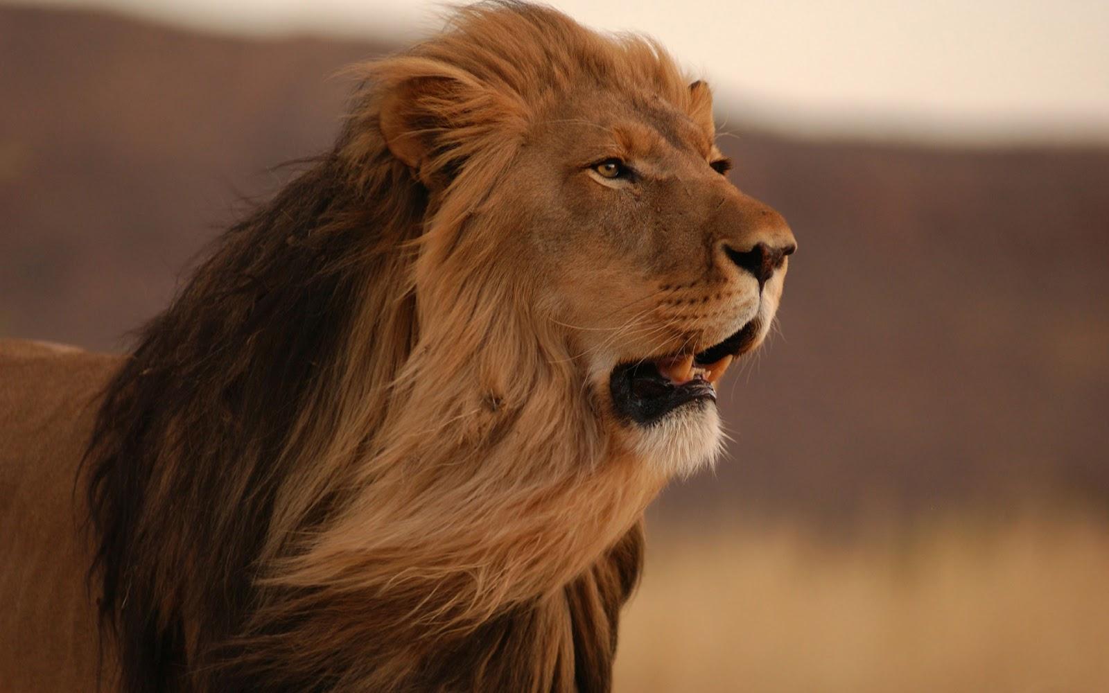 Angry Lion Wallpaper Hd 1080p الامراض الشائعة لمواليد برج الاسد الراقية