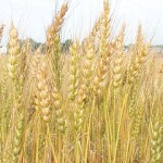 wheat-crop-cultivated-on-8-million-hectares-1357328773-6550