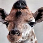 The three day old female Rothschild Giraffe pup