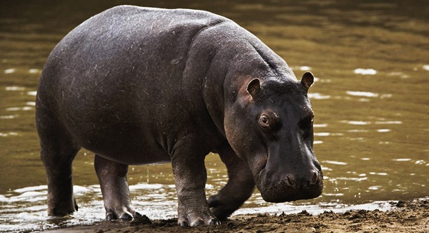 6. Hipopótamo - Imgur