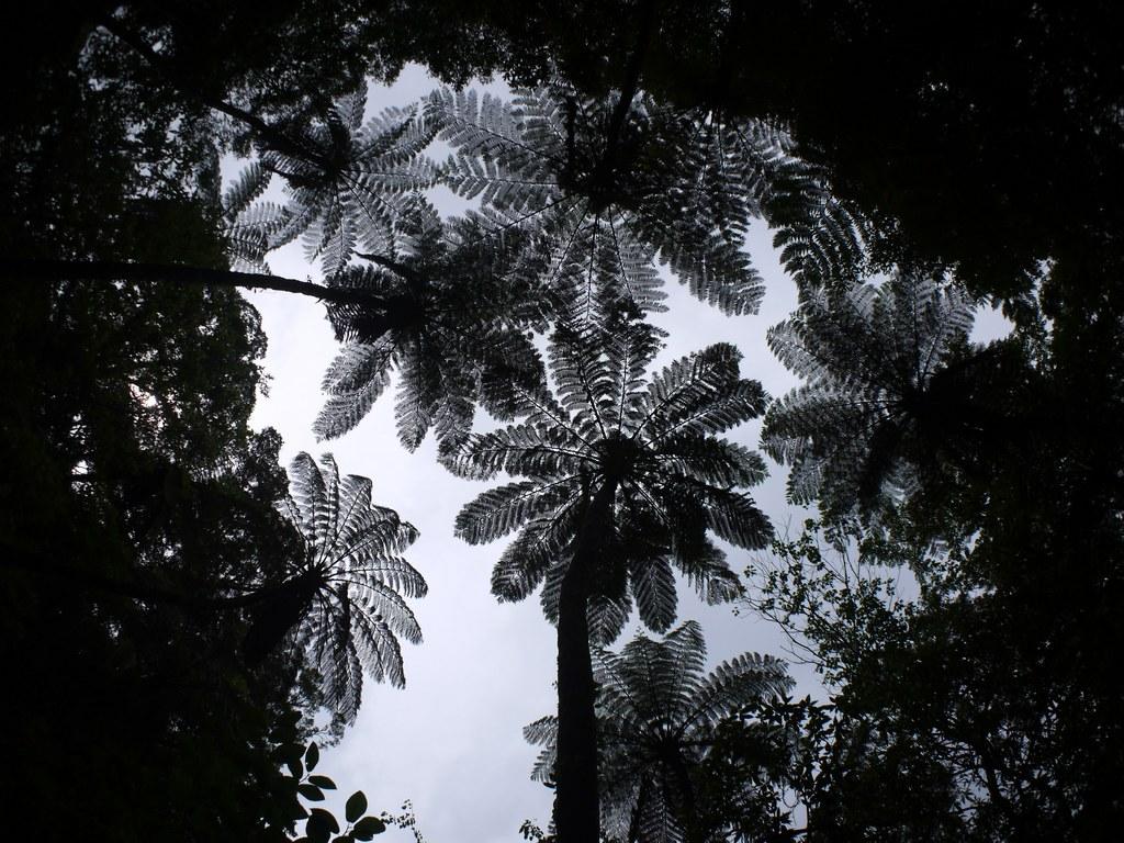 ヒカゲヘゴの画像 p1_31