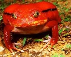 In foto una rana pomodoro particolarmente aggressiva.