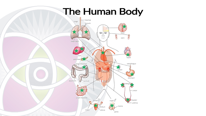 All the Organs in Your Body Have Stem Cells