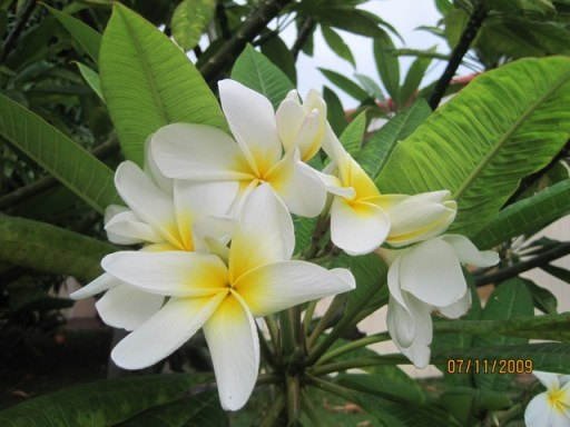 white and yellow plumeria