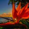 Bird of Paradise and Maui Sunset 3