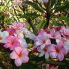 Pretty Pink Plumerias on Maui
