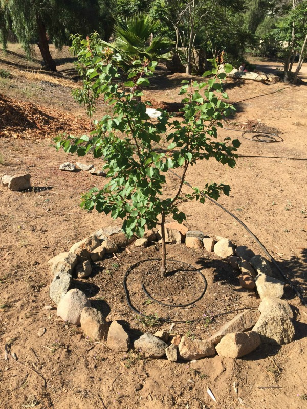 Apricot tree with irrigation