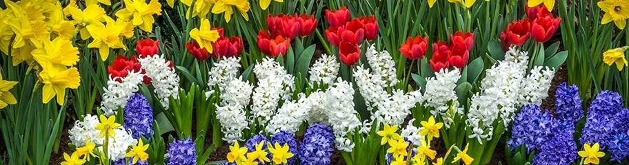 Flower Bulbs, Fall Flower Bulbs, Spring Flower Bulbs - American Meadows