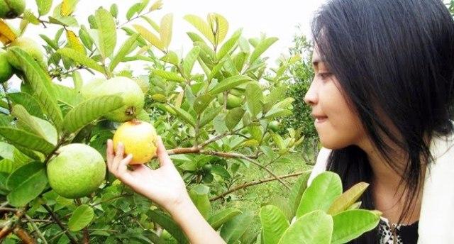 Wisata Petik Apel dan Jambu Kristal Malang amerta edutravel
