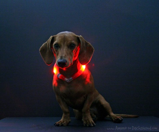 ammo the dachshund glowdoggie led collar