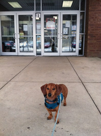 ammo the dachshund goes to school