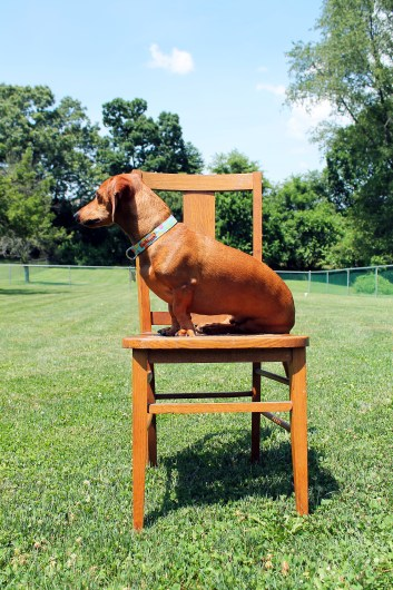 ammo the dachshund's diy dipped yellow chair