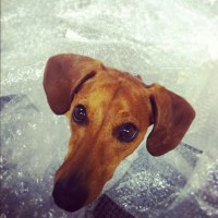 Dachshund has the Best Time in Bubble Wrap