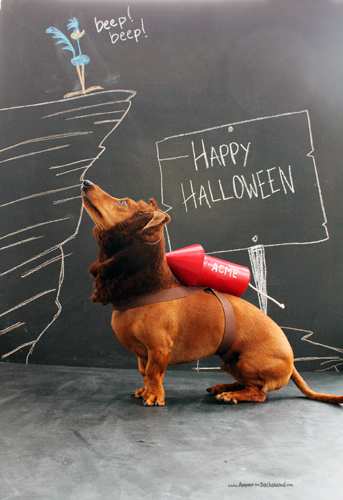 Ammo the Dachshund // Halloween // Wile E. Coyote Costume