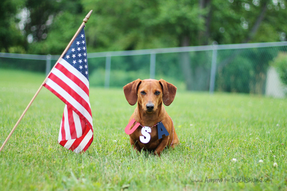 Happy 4th of July // Ammo the Dachshund