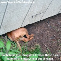 The Dachshund Life Struggle Continues