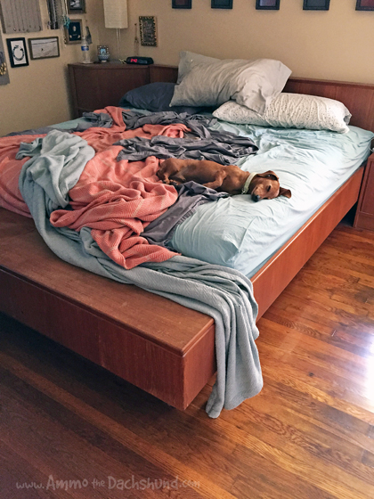 Oh The Places You Sleep: Vol. 6 with Ammo the Dachshund