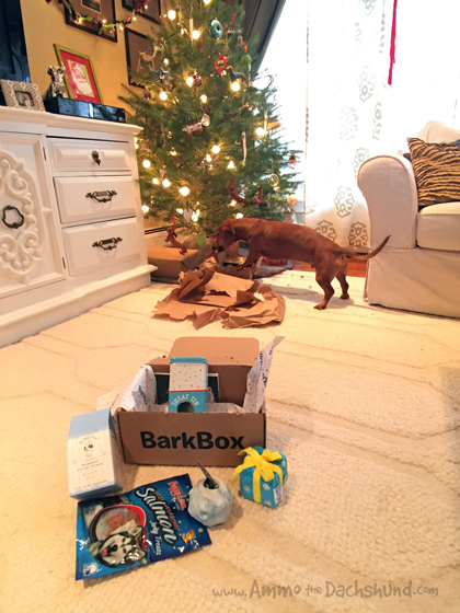 Ammo the Dachshund Spends Christmas with his Family