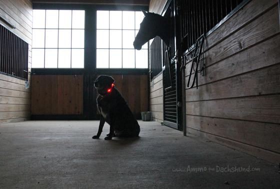 The Night's Watch // Ammo the Dachshund