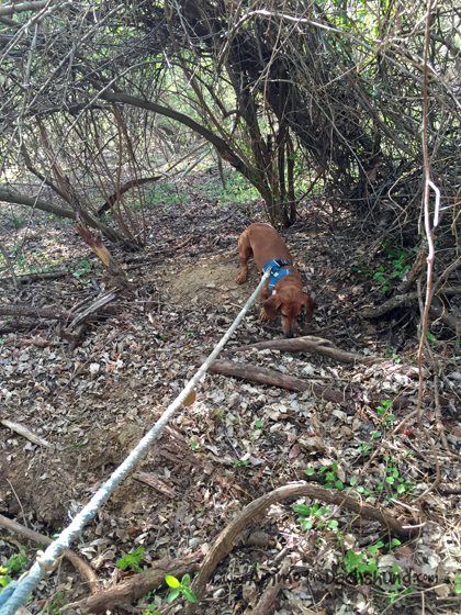 Following Instinct - Ammo the Dachshund finds a Groundhog Hole