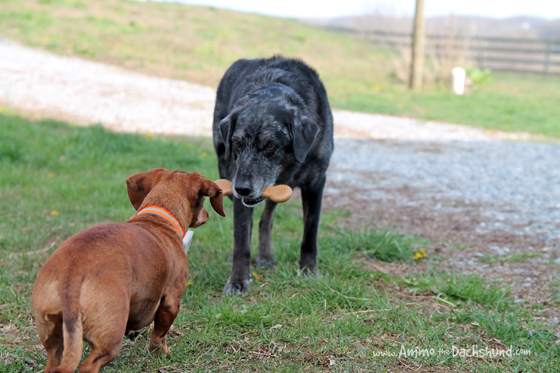 Dogs Compete for Everything even the new PetQwerks Flavorit Bones #ad