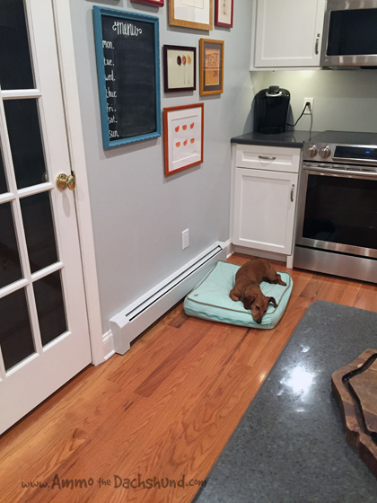 Oh The Places You Sleep: Vol. 15 with Ammo the Dachshund