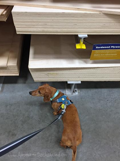 Sound Proof - Ammo the Dachshund is a Seasoned DIY Dog