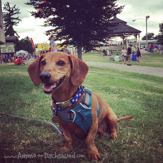 Holiday Weekend with Ammo the Dachshund