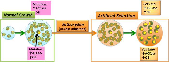 Optimizing Algae Biofuels Applied Natural Selection To