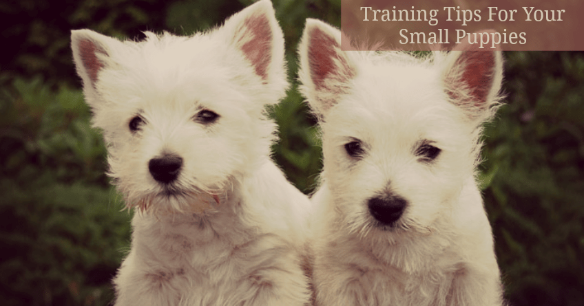 Small Puppies — Potty Training Tips