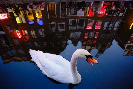 A white swan in Amsterdam's Red Light District