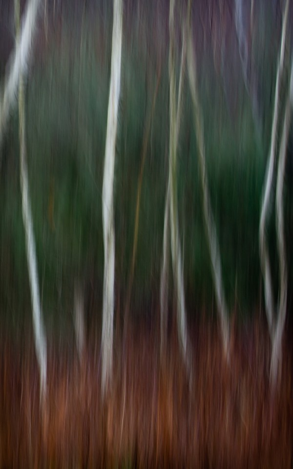 Abstact Photographic image of birch trees and evergreens