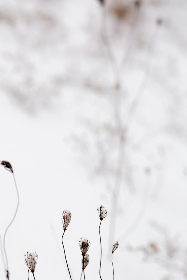 Artistic photographic image of some dried weeds in the snow.