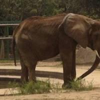 Denuncian estado de desnutrición de elefanta del Zoológico de Caricuao