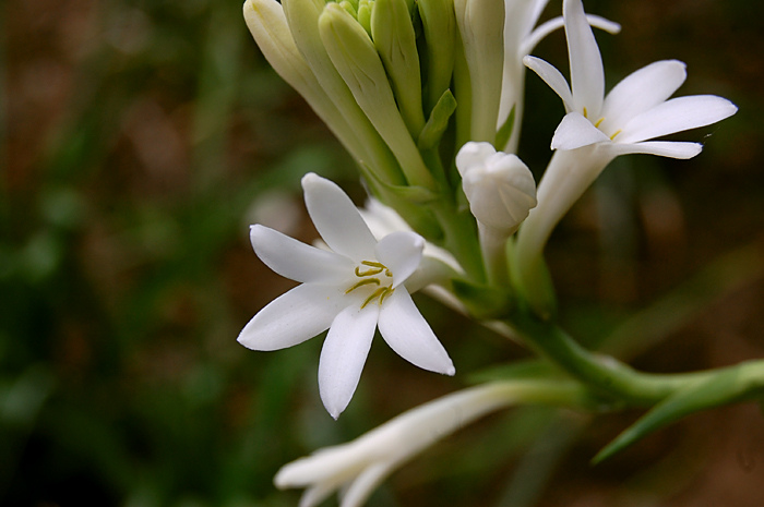 Rajnigandha Flower Hd Wallpaper Tuberose Essential Oil 3 In Jojoba Anarres Natural Health
