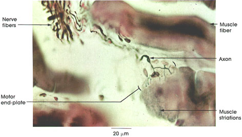 Anatomy Atlases Atlas of Microscopic Anatomy Section 1 - Cells - neuromuscular junction