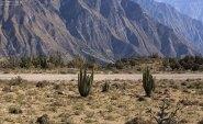 Фотогеничные заросли кактусов на дне долины Colca.