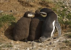 Пингвиниха воспитывает детей.