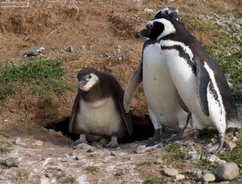 Родители и нескладный пингвиненок.