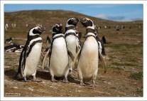 Послы от пингвиньей колонии.