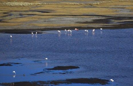 Фламинго в водоеме Laguna de Salinas.