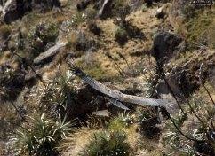 С земли кондоры поднимаются тяжело и с большого разбега, особенно после обильной трапезы.
