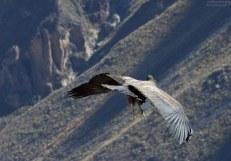 С определенных ракурсов, важные кондоры напоминают обычных петухов, только с гигантскими крыльями.