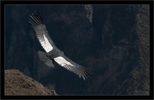 Андский кондор (Vultur gryphus) — птица из семейства американских грифов, распространён в Андах и на тихоокеанском побережье Южной Америки.