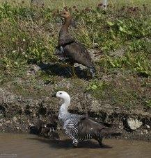 Семейство Горных гусей (Upland geese).
