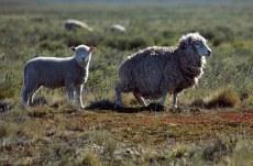 Нестриженные овцы.